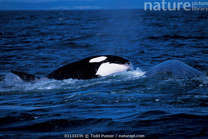 Transient killer whale taking bite out of Grey whale calf. Monterey Bay, California, USA.  ,  GRAY,MIXED SPECIES,PREDATION,USA,CALIFORNIA,BEHAVIOUR,ATTACKING,MAMMALS,CETACEANS,MARINE,ESCHRICHTIUS,DOLPHINS,NORTH AMERICA,OCEAN,CALF,WHALES,ROBUSTUS,PACIFIC  ,  Todd Pusser