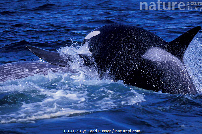 Transient killer whale leaps on Grey whale calf in attempt to drown it, California, USA.  ,  PREDATION,ROBUSTUS,NORTH AMERICA,GRAY,USA,CALIFORNIA,PACIFIC,ATTACKING,BAY,BABIES,BEHAVIOUR,MONTEREY,ESCHRICHTIUS,MAMMALS,CETACEANS,DOLPHINS,WHALES,MARINE,OCEAN,MIXED SPECIES  ,  Todd Pusser