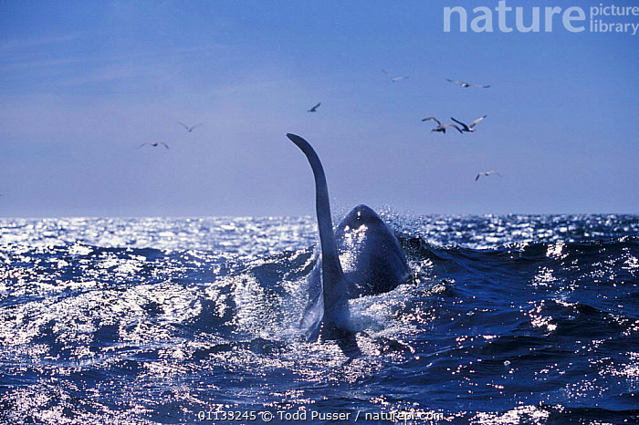 Large dorsal fin of male transient killer whale {Orcinus orca} Monterey Bay, California, USA.  ,  USA,MARINE,CETACEANS,OCEAN,MAMMALS,CALIFORNIA,PACIFIC,SURFACE,DOLPHINS,NORTH AMERICA,REAR,FINS,Catalogue1  ,  Todd Pusser
