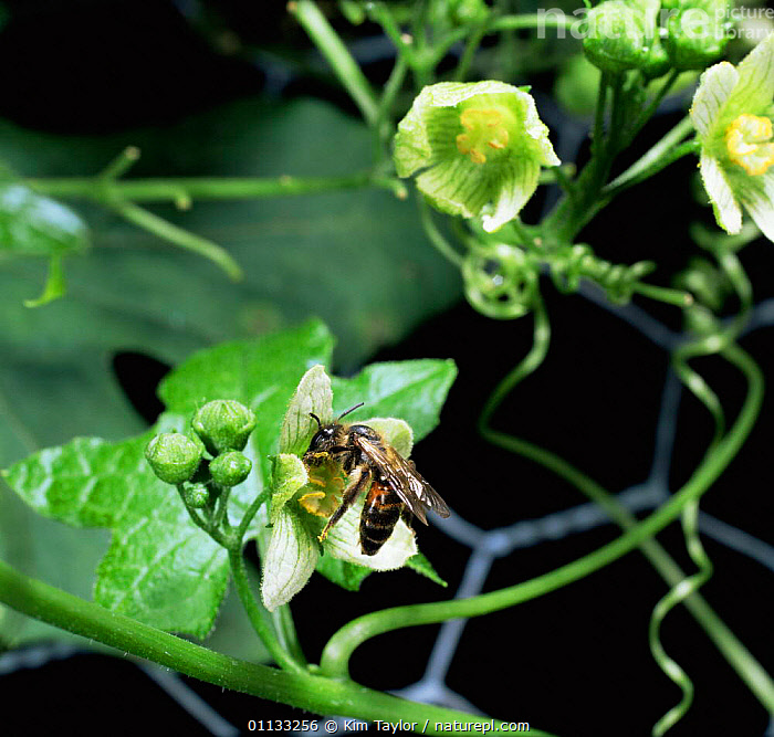 Solitary mining bee {Andrena sp} feeding on + pollinating White bryony flower, UK.  ,  UK,HYMENOPTERA,FLOWERS,BEES,BEHAVIOUR,SP,POLLINATION,INSECTS,Europe,United Kingdom,Invertebrates,British,,Dispersal,  ,  Kim Taylor