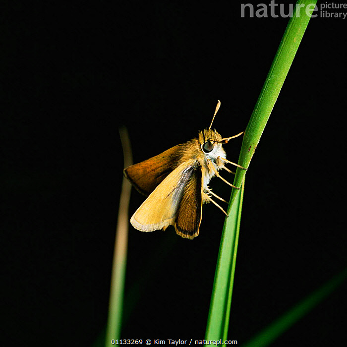 Lulworth skipper butterfly {Thymelicus acteon} male, UK.  ,  EUROPE,INSECTS,BUTTERFLIES,UK,LEPIDOPTERA,MALES,United Kingdom,Invertebrates,British,CREWS  ,  Kim Taylor