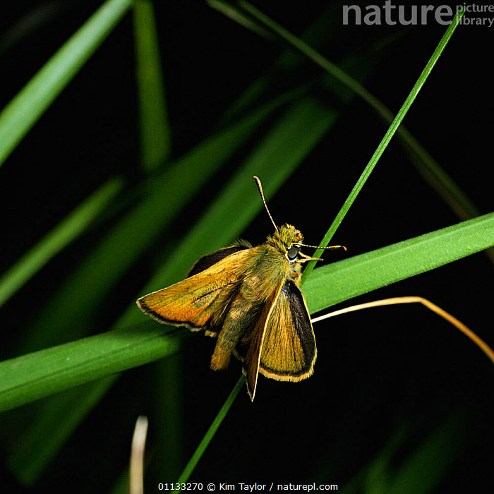 Lulworth skipper butterfly {Thymelicus acteon} male, UK.  ,  MALES,UK,LEPIDOPTERA,BUTTERFLIES,INSECTS,EUROPE,United Kingdom,Invertebrates,British,CREWS  ,  Kim Taylor