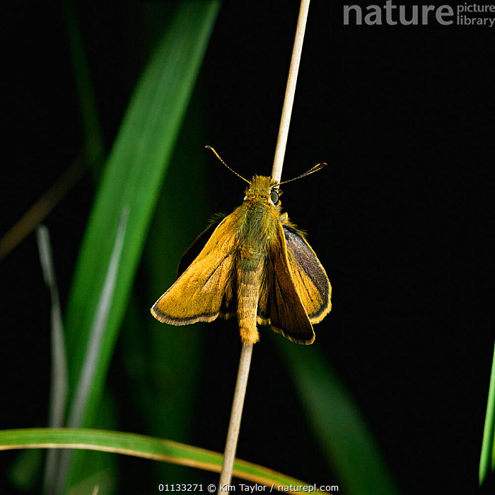 Lulworth skipper butterfly {Thymelicus acteon} male, UK.  ,  EUROPE,INSECTS,BUTTERFLIES,MALES,LEPIDOPTERA,UK,United Kingdom,Invertebrates,British,CREWS  ,  Kim Taylor