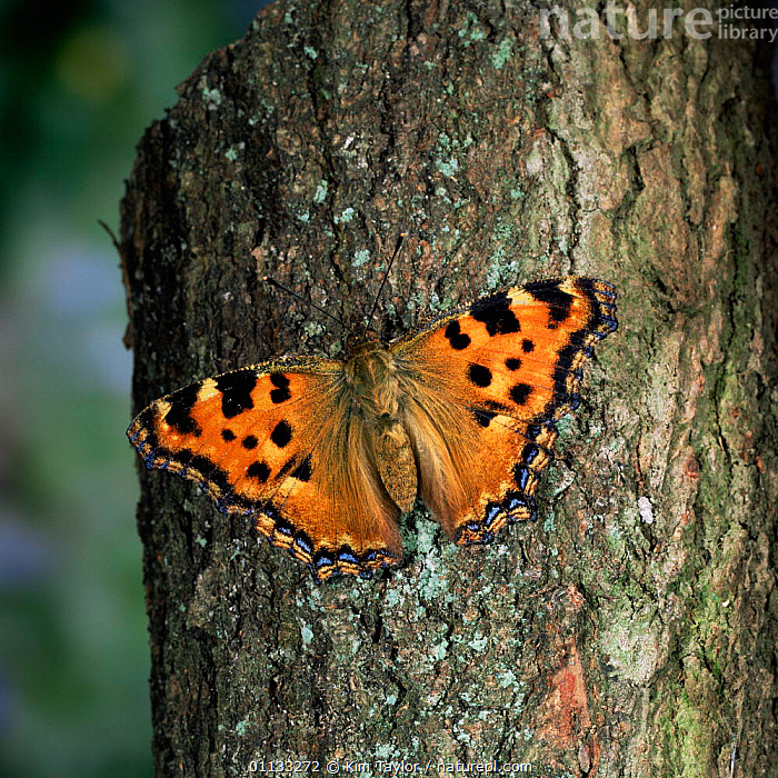 Large tortoishell butterfly {Nymphalis polychloros} on tree trunk, UK.  ,  LEPIDOPTERA,INSECTS,UK,BUTTERFLIES,BARK,EUROPE,United Kingdom,Plants,Invertebrates,British  ,  Kim Taylor