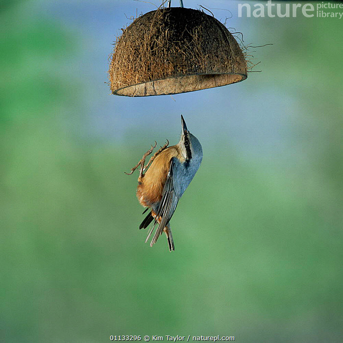 Nuthatch {Sitta europaea} flying up to a hanging coconut bird feeder. UK.  ,  FEEDER,EUROPE,FEEDERS,NUTHATCHES,UK,United Kingdom,British  ,  Kim Taylor