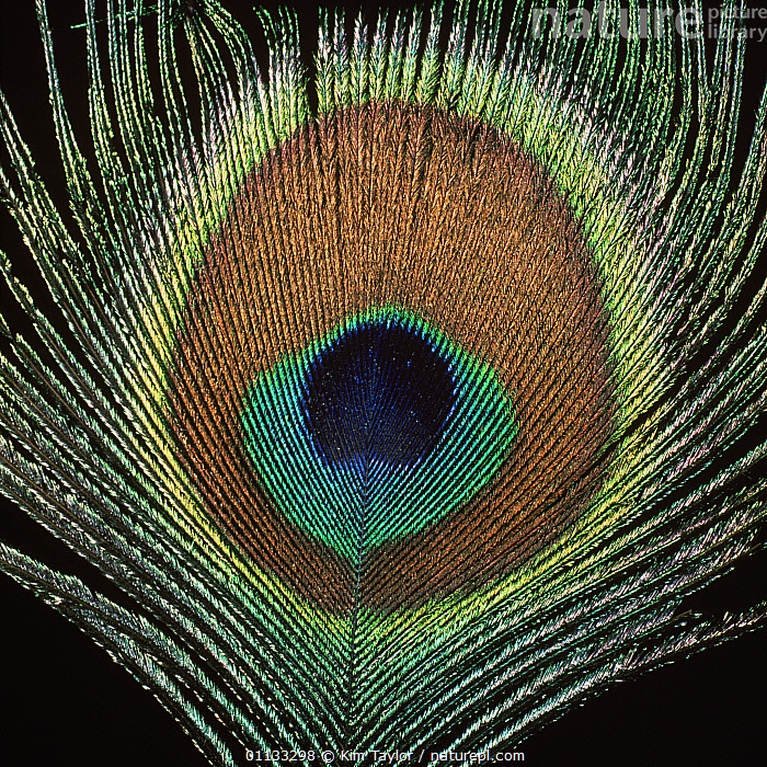 Close-up of eye on Peacock {Paco cristatus} tail feather.  ,  CLOSE UPS,COLOURFUL,BIRDS,FEATHER,EUROPE,PATTERNS,PEACOCKS,PACO,MACRO SHOTS,TAILS,PHEASANTS,PEACOCK  ,  Kim Taylor