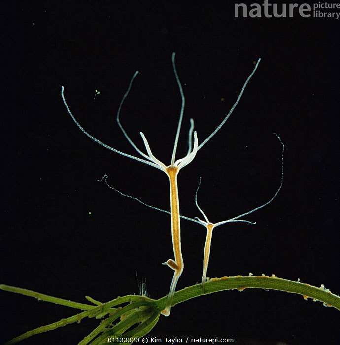 Common hydra {Hydra vulgaris} with offspring and a new bud forming. UK.  ,  WATER,UK,REPRODUCTION,ASEXUAL,AQUATIC,FORMING,HYDROIDA,EUROPE,United Kingdom,British,Hydroids,Invertebrates, Invertebrates  ,  Kim Taylor
