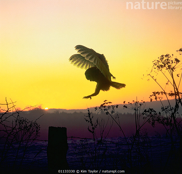 RF- Barn owl (Tyto alba) landing on fence post at dawn. Digitally enhanced, Captive, UK. (This image may be licensed either as rights managed or royalty free.)  ,  BIRDS-OF-PREY,DAWN,EUROPE,FLYING,NOCTURNAL,VERTEBRATES,BIRDS,OWLS,UK,TYTO ALBA,Animal,Vertebrate,Bird,Birds,Owl,Barn owl,Animalia,Animal,Wildlife,Vertebrate,Aves,Bird,Birds,Strigiformes,Owl,Bird of prey,Tytonidae,Tyto,Tyto alba,Barn owl,Western barn owl,Common barn owl,Landing,Colour,Yellow,Nobody,Copy Space,Image Manipulation,Digital Enhancement,Side View,Back Lit,Wing,Boundary,Fence,Sky,Outdoors,Predator,Nature,Countryside,Dawn,Negative space,Fence Post,Wings Up,RF,Royalty free,RFCAT1,RF17Q1  ,  Kim Taylor
