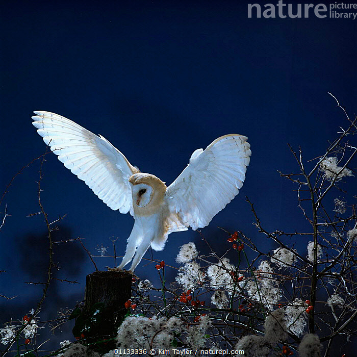 Barn owl {Tyto alba} landing on fence post. Captive UK.  ,  WINGS,NIGHT,UK,POST,OWLS,NOCTURNAL,FLYING,EUROPE,BIRDS,BIRDS OF PREY,United Kingdom,British,Raptor  ,  Kim Taylor