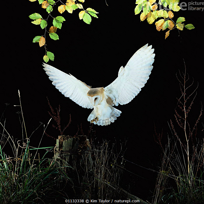 Barn owl {Tyto alba} female landing on fence post. Captive UK.  ,  POST,NIGHT,NOCTURNAL,OWLS,UK,FLYING,FEMALES,EUROPE,BIRDS,BIRDS OF PREY,WINGS,United Kingdom,British,Raptor  ,  Kim Taylor