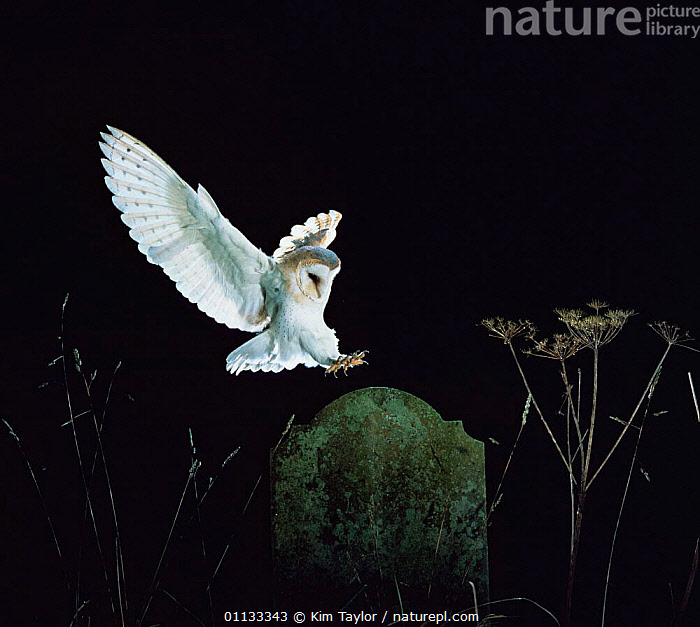 Barn owl {Tyto alba} landing on tombstone in church graveyard. Captive UK.  ,  BIRDS OF PREY,BIRDS,CHURCHYARD,FLYING,NIGHT,OWLS,NOCTURNAL,UK,Europe,United Kingdom,British,Raptor  ,  Kim Taylor