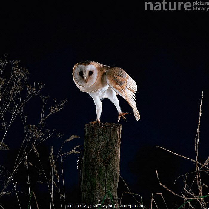 Barn owl {Tyto alba} on fence post stretching leg and wing. Captive UK.  ,  WINGS,OWLS,WING,UK,PERCHING,NOCTURNAL,BIRDS,BIRDS OF PREY,EUROPE,United Kingdom,British,Raptor  ,  Kim Taylor