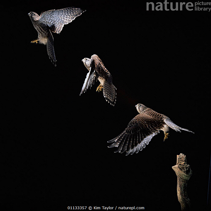 Juvenile Kestrel {Falco tinnunculus} male taking off Multiple exposure sequence.  ,  FLYING,FALCONS,BIRDS,BIRDS OF PREY,CAPTIVE,CUTOUT,UK,Europe,United Kingdom,British  ,  Kim Taylor