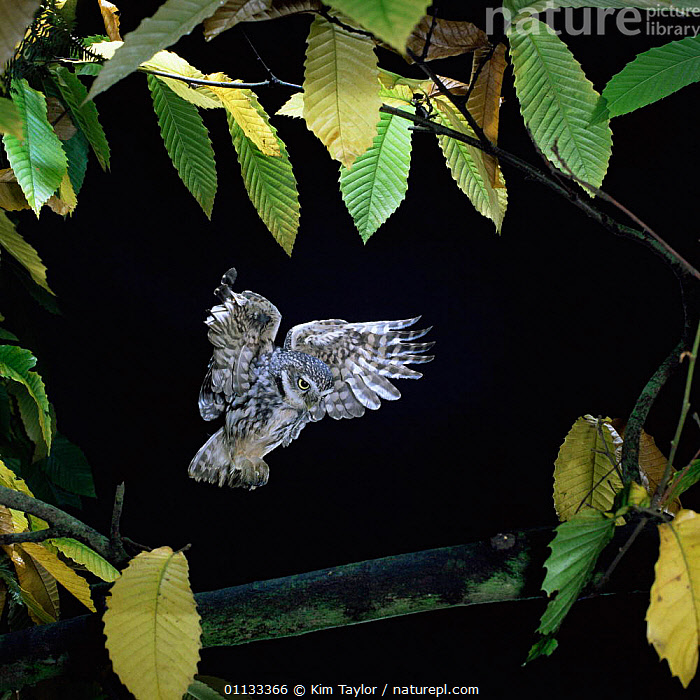 Little owl {Athene noctua} flies to Sweet chestnut branch. Captive UK.  ,  OWLS,UK,NOCTURNAL,NIGHT,BRANCH,BIRDS OF PREY,BIRDS,FLYING,EUROPE,United Kingdom,British,Raptor  ,  Kim Taylor