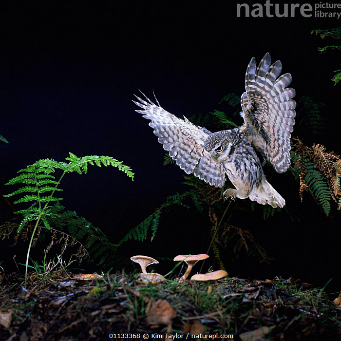 Little owl {Athene noctua} flying to the ground. Captive UK  ,  NOCTURNAL,OWLS,BIRDS OF PREY,BIRDS,GROUND,WINGS,Raptor  ,  Kim Taylor