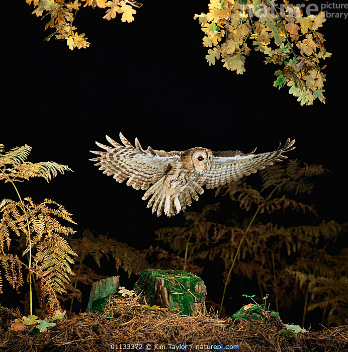 RF- Tawny owl (Strix aluco) taking off. Captive UK. (This image may be licensed either as rights managed or royalty free.)  ,  BIRDS,BIRDS-OF-PREY,EUROPE,FLYING,NIGHT,OWLS,UK,VERTEBRATES,STRIX ALUCO,Animal,Vertebrate,Bird,Birds,Owl,Tawny owl,Animalia,Animal,Wildlife,Vertebrate,Aves,Bird,Birds,Strigiformes,Owl,Bird of prey,Strigidae,Striginae,Strix,Strix aluco,Tawny owl,Eurasian tawny owl,Eurasian wood owl,Tawny wood owl,Taking Off,Strength,Nobody,Halloween,Copy Space,Close Up,Plant,Branch,Branches,Leaf,Foliage,Wing,Outdoors,Autumn,Autumnal,Fall,Night,Nature,Forest,Wings spread,Wingspan,Negative space,RF,Royalty free,RFCAT1,RF17Q1  ,  Kim Taylor