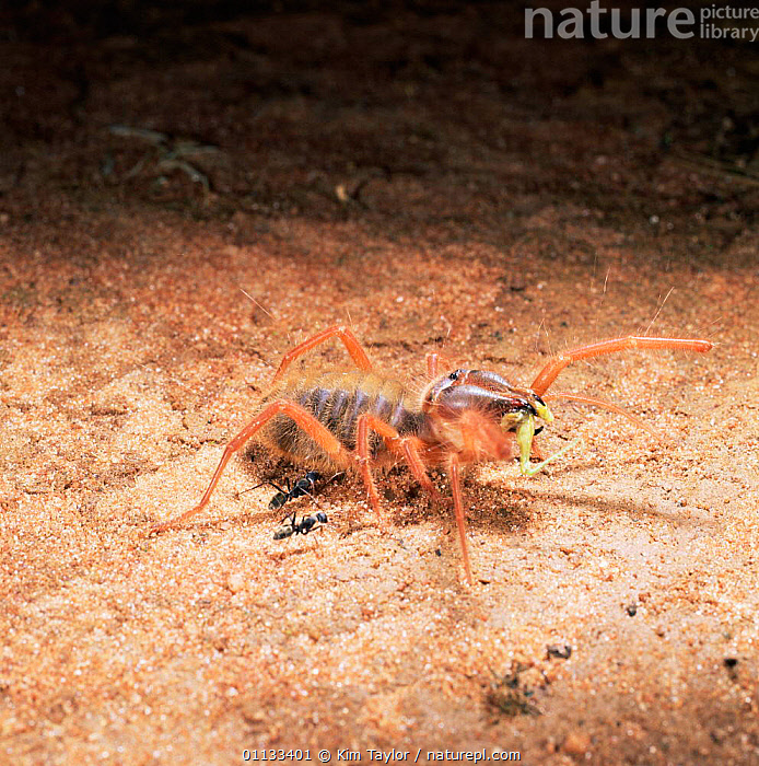 Sun / Camel spider {Solifugae sp.} eating grasshopper. Two ants investigate. East Africa.  ,  PREDATION,SP,SPIDERS,FEEDING,ARACHNIDS,AFRICA,Behaviour,Invertebrates  ,  Kim Taylor
