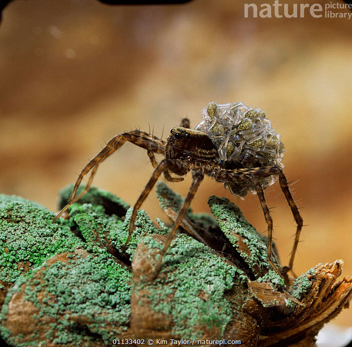 Meadow spider {Lycosa amentata} female carrying young on her back, UK.  ,  ARACHNIDS, ARTHROPODS, BABIES, BEHAVIOUR, EUROPE, INVERTEBRATES, PARENTAL, SPIDERS, UK, WOLF-SPIDERS,United Kingdom  ,  Kim Taylor