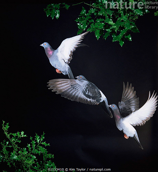 Domestic pigeon / Rock dove {Columba livia} flight multiple exposure sequence. Captive  ,  EUROPE,PIGEONS,FLYING,CUTOUT,BIRDS,Doves  ,  Kim Taylor