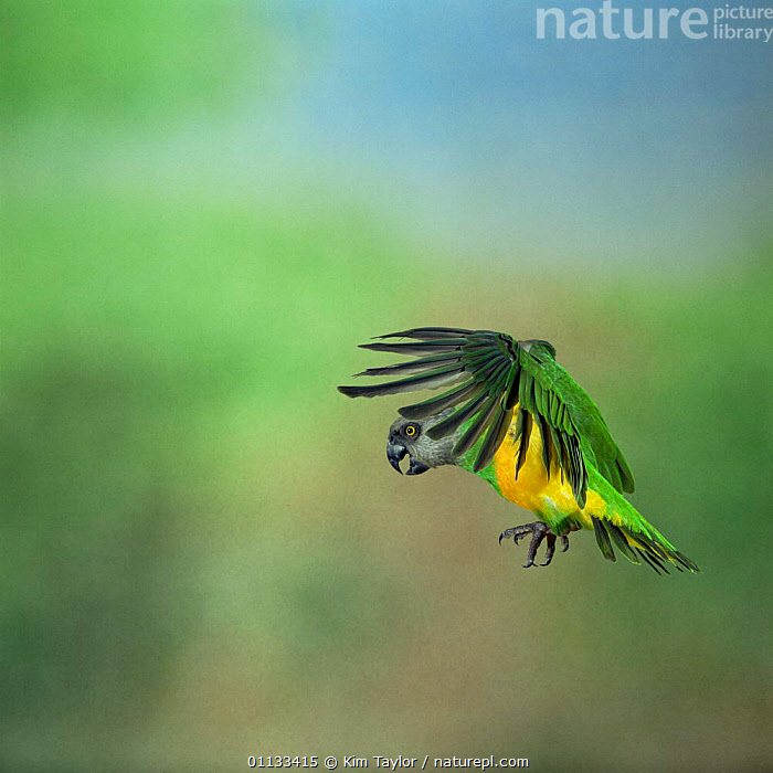 Senegal parrot {Poicephalus senegalus} in flight. Captive, occurs Africa.  ,  AFRICA,BIRDS,FLIGHT,FLYING,PARROTS,WEST-AFRICA  ,  Kim Taylor