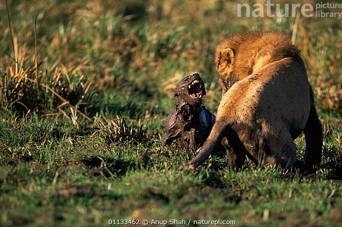 Spotted hyaena {Crocuta crocuta} defending itself from male lion {Panthera leo} Kenya.  ,  WATER,PANTHERA,HYAENAS,AFRICA,AGGRESSION,ACTION,ATTACKING,BEHAVIOUR,CARNIVORES,DEFENSIVE,SERENGETI,EAST AFRICA,MALES,LEO,MAMMALS,FIGHTING,MIXED SPECIES,PREDATOR,MUDDY,LIONS,KENYA,TANZANIA,Concepts,,messy,,,Serengeti National Park, UNESCO World Heritage Site,  ,  Anup Shah