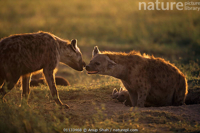 Two Spotted hyaenas {Crocuta crocuta} greeting one another. Serengetti, Tanzania.  ,  MAMMALS,AFRICA,ANOTHER,EAST AFRICA,CARNIVORES,FAMILIES,TANZANIA,SOCIAL BEHAVIOUR  ,  Anup Shah