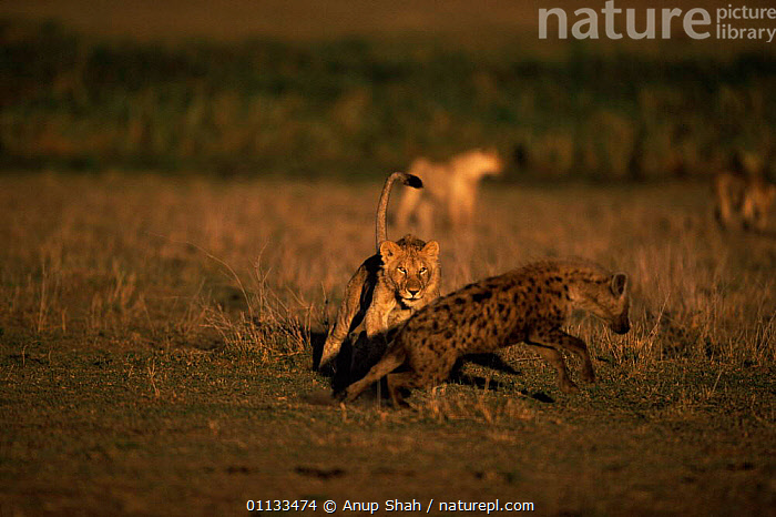 Spotted hyaena {Crocuta crocuta} being chased by lioness, Kenya.  ,  MIXED SPECIES,LION,MARA,MASAI,MAMMALS,CARNIVORES,ACTION,AFRICA,AGGRESSION,ATTACKING,KENYA,EAST AFRICA,HYAENAS,Concepts  ,  Anup Shah