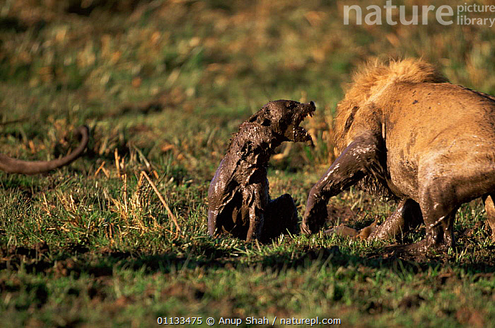 Lion attacking Spotted hyaena {Crocuta crocuta} Kenya, sequence 1/2  ,  MARA,FIGHTING,AGGRESSION,AFRICA,ACTION,EAST AFRICA,CARNIVORES,PANTHERA LEO,PREDATION,MIXED SPECIES,COMPETITION,HYAENAS,MASAI,MAMMALS,Concepts,Behaviour  ,  Anup Shah