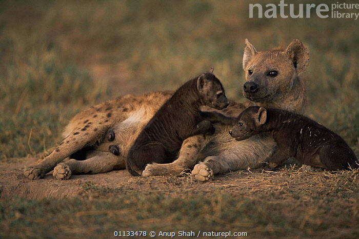 Spotted hyaena {Crocuta crocuta} mother with two pups playing. Serengetti, Tanzania  ,  PLAYING,PUPPIES,INFANTS,MAMMALS,FAMILIES,EAST AFRICA,CARNIVORES,ADULT,AFFECTIONATE,BABIES,HYAENAS,GROUPS,PARENTAL,SOCIAL BEHAVIOUR,Africa,concepts  ,  Anup Shah