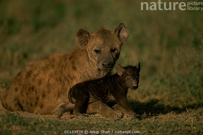 Spotted hyaena {Crocuta crocuta} mother with pup. Serengetti Tanzania.  ,  GROUPS,FAMILIES,BABIES,AFFECTIONATE,CARNIVORES,EAST AFRICA,TANZANIA,MAMMALS,PARENTAL,PUP,INFANTS,HYAENAS,SOCIAL BEHAVIOUR,Africa,concepts  ,  Anup Shah