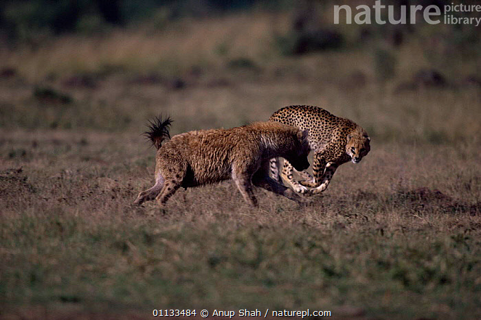 Cheetah {Acinonyx jubatus} harassing Spotted hyaena {Crocuta crocuta} Kenya  ,  MASAI MARA,MIXED SPECIES,FIGHTING,TAURINUS,ACTION,AGGRESSION,EAST AFRICA,CARNIVORES,HARASSED,HYAENAS,MAMMALS,Africa,Concepts  ,  Anup Shah