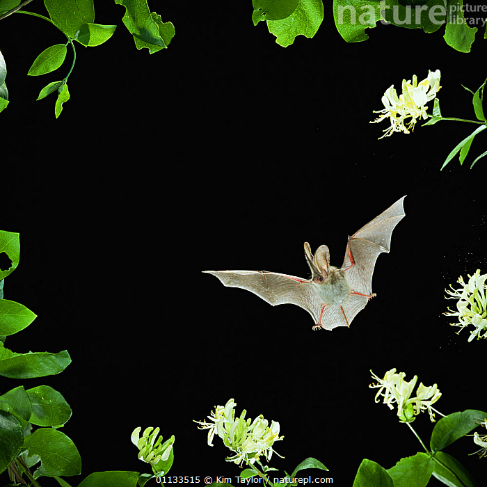 RF- Long eared bat (Plecotus auritus) flying by Honeysuckle flowers, captive, UK. (This image may be licensed either as rights managed or royalty free.)  ,  BATS,CHIROPTERA,CUTOUT,EUROPE,MAMMALS,NIGHT,VERTEBRATES,PLECOTUS AURITUS,Plant,Vascular plant,Flowering plant,Asterid,Honeysuckle,Animal,Vertebrate,Mammal,Bat,Vespertilionid bat,Long eared bats,Brown Big-eared Bat,Plantae,Plant,Tracheophyta,Vascular plant,Magnoliopsida,Flowering plant,Angiosperm,Seed plant,Spermatophyte,Spermatophytina,Angiospermae,Dipsacales,Asterid,Dicot,Dicotyledon,Asteranae,Caprifoliaceae,Honeysuckle,Animalia,Animal,Wildlife,Vertebrate,Mammalia,Mammal,Chiroptera,Bat,Vespertilionidae,Vespertilionid bat,Microchiroptera,Microbat,Micro bat,Plecotus,Long eared bats,Plecotus auritus,Brown Big-eared Bat,Brown Long-eared Bat,Mid Air,Nobody,Copy Space,Plain Background,Black Background,Flower,Leaf,Foliage,Wing,Outdoors,Night,Nature,Wings spread,Wingspan,Negative space,Flowerhead,RF,Royalty free,RFCAT1,RF17Q1  ,  Kim Taylor
