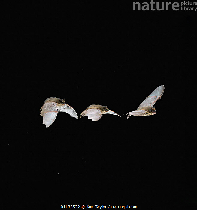 Pipistrelle bat {Pipistrellus pipistrellus} multiple exposure flight sequence. Captive, UK.  ,  FLYING,EUROPE,BATS,AURITUS,CUTOUT,CHIROPTERA,MAMMALS,NIGHT,UK,United Kingdom,British  ,  Kim Taylor