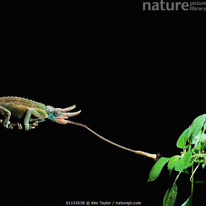RF- Jacksons 3-horned chameleon (Chamaeleo jacksonii) catching fly. Captive, Kenya. (This image may be licensed either as rights managed or royalty free.)  ,  ACTION,AFRICA,BEHAVIOUR,CHAMELEONS,CUTOUT,FEEDING,HUNTING,LIZARDS,PREDATION,REPTILES,TONGUES,VERTEBRATES,TRIOCEROS JACKSONII,Animal,Arthropod,Insect,True fly,Vertebrate,Reptile,Squamate,Chameleon,Chameleons,Jackson's chameleon,Animalia,Animal,Wildlife,Hexapoda,Arthropod,Invertebrate,Hexapod,Arthropoda,Insecta,Insect,Diptera,True fly,Fly,Vertebrate,Reptilia,Reptile,Squamata,Squamate,Chamaeleonidae,Chameleon,Lizard,Trioceros,Chameleons,Trioceros jacksonii,Jackson's chameleon,Chamaeleo jacksonii,Chamaeleon jacksonii,Reaching,Skill,Distant,Nobody,Length,Long,Lengthy,Africa,East Africa,Kenya,Copy Space,Plain Background,Black Background,Profile,Side View,Plant,Leaf,Foliage,Outdoors,Night,Nature,Negative space,RF,Royalty free,RFCAT1,RF17Q1  ,  Kim Taylor