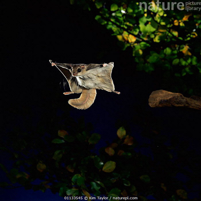 Southern flying squirrel {Glaucomys volans} taking off, Captive  ,  RODENTIA,CUTOUT,ACTION,MAMMALS,NIGHT,TAKING OFF,RODENTS,SQUIRRELS , high speed  ,  Kim Taylor