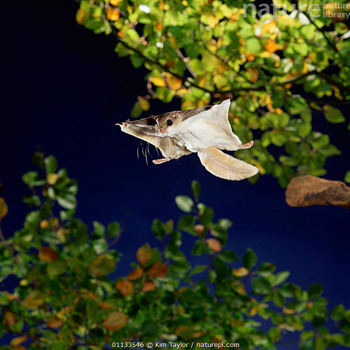 Southern flying squirrel {Glaucomys volans} taking off, Captive  ,  NIGHT,SQUIRRELS,MAMMALS,RODENTIA,TAKING OFF,RODENTS,ACTION,CUTOUT , high speed  ,  Kim Taylor