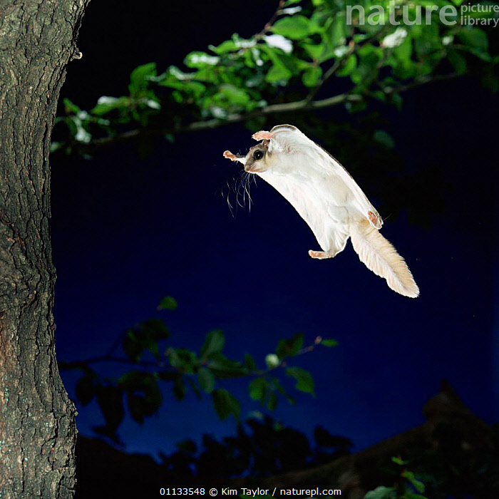 Southern flying squirrel {Glaucomys volans} landing on tree trunk, Captive  ,  RODENTS,NIGHT,SQUIRRELS,MAMMALS  ,  Kim Taylor