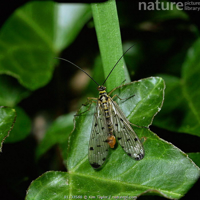 Common scorpionfly {Panorpa communis} male resting on Ivy, UK.  ,  UK,DIPTERA,EUROPE,SCORPIONFLIES,SCORPION FLY,INSECTS,United Kingdom,Invertebrates,British,Mecoptera  ,  Kim Taylor