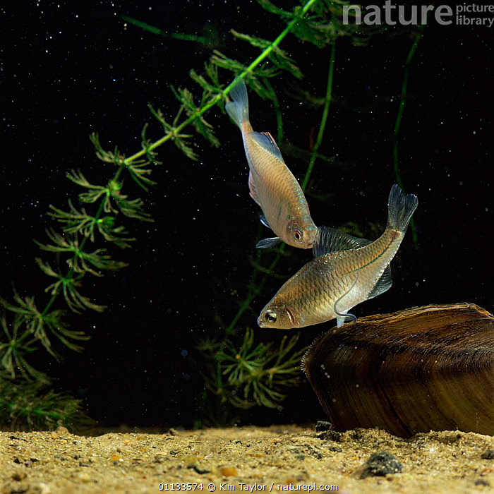 Female Bitterling ovipositing into Mussel while male waits to deposit sperm, sequence 6/6  ,  MALE FEMALE PAIR,SIPHON,UNDERWATER,REPRODUCTION,INSERTS,JAPANESE,MATING BEHAVIOUR,MOLLUSCS,FRESHWATER,SWAN,OVIPOSITOR,FISH,SPAWNING,Invertebrates  ,  Kim Taylor
