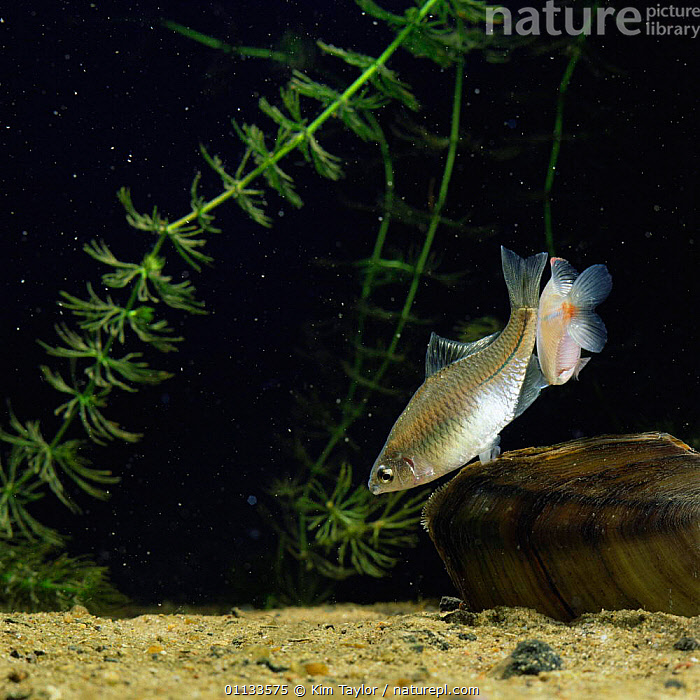 Female Bitterling inserts ovipositor into siphon of swan mussel {Rhodeus ocellatus}, sequence 5/6  ,  UNDERWATER,FISH,FRESHWATER,REPRODUCTION,MOLLUSCS,MATING BEHAVIOUR,OVIPOSITING,MALE FEMALE PAIR,JAPANESE,SPAWNING,Invertebrates  ,  Kim Taylor
