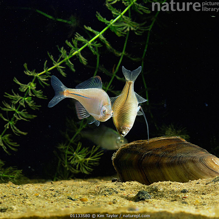 Female Bitterling hangs vertically before ovipositing in Swan mussel {Rhodeus ocellatus}  ,  MOLLUSCS,MALE,UNDERWATER,SIPHON,REPRODUCTION,SPAWNING,TRAILING,MATING BEHAVIOUR,OVIPOSITOR,JAPANESE,MALE FEMALE PAIR,INTO,INSERTS,INSERT,FISH,FRESHWATER,ATTENDANCE,Invertebrates  ,  Kim Taylor