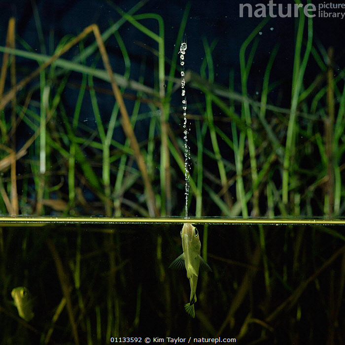 Archerfish jets water at insect to dislodge it from branch {Toxotes chatareus} from SE Asia  ,  SPLIT LEVEL,PREDATION,SPITTING,UNDERWATER,ARCHER FISH,BEHAVIOUR,INTERESTING,INSECTS,FEEDING,FISH,FRESHWATER,Invertebrates  ,  Kim Taylor
