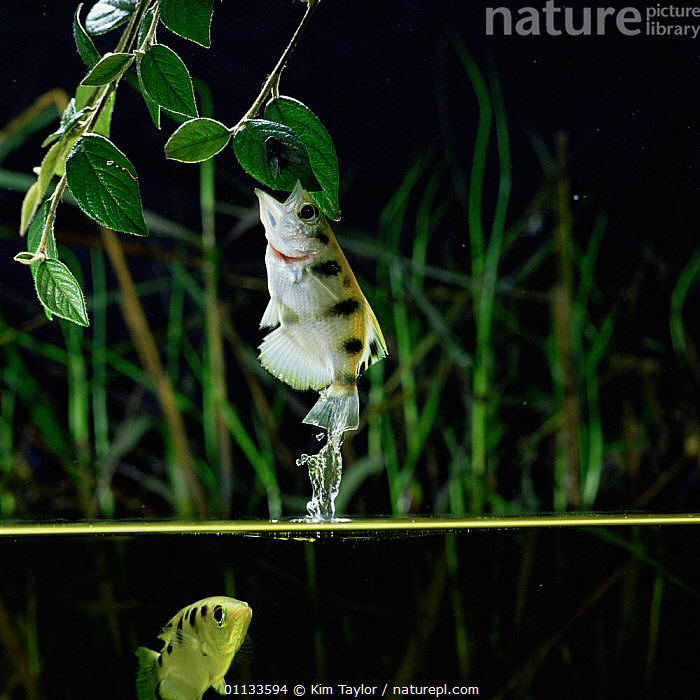 Archerfish leaps out of water to catch insect from overhanging branch {Toxotes chatareus} SE Asia.  ,  SE,SPLIT LEVEL,LEAPING,UNDERWATER,JUMPING,PREDATION,FRESHWATER,CAPTIVE,ACTION,ASIA,ARCHER FISH,BEHAVIOUR,FISH,INSECTS,INTERESTING,FEEDING,DISLODGE,Invertebrates , high speed  ,  Kim Taylor