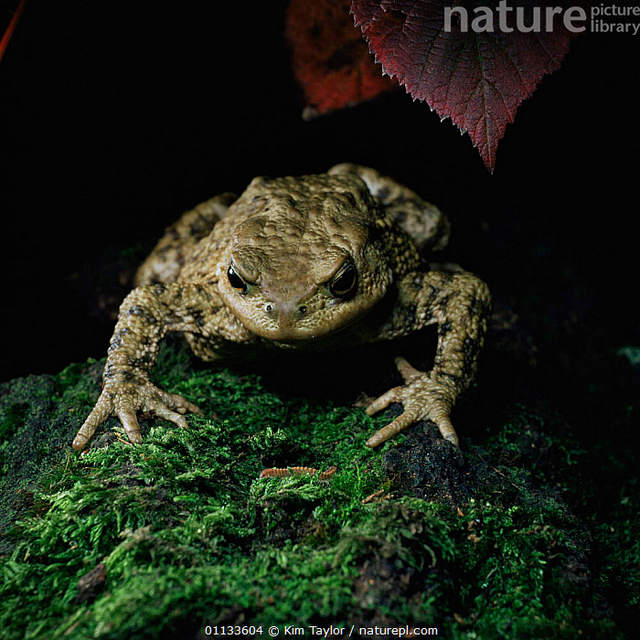 Common European toad watches moving prey before catching it with tongue {Bufo bufo} UK.  ,  EUROPE,FEEDING,AMPHIBIANS,BEHAVIOUR,TOADS,INSECTS,UK,PREDATION,United Kingdom,Invertebrates,British,Anura  ,  Kim Taylor