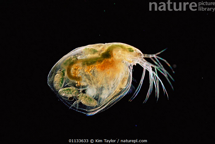 Female Water flea {Daphnia sp} with fulled formed young inside carapace, UK. Magnification: x20 at 6x7cm  ,  UK,CRUSTACEANS,CARAPACE,SP,REPRODUCTION,FRESHWATER,MICROSCOPIC,FEMALES,INSECTS,Europe,United Kingdom,Invertebrates,British,Fleas, United Kingdom  ,  Kim Taylor