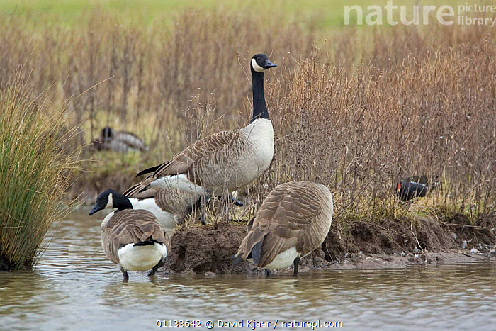 Canada geese {Branta canadensis} wading. UK.  ,  GLOUCESTERSHIRE,WATERFOWL,WADING,SKY,EUROPE,BIRDS,GROUPS,UK,United Kingdom,British,Wildfowl,North America, waterfowl  ,  David Kjaer