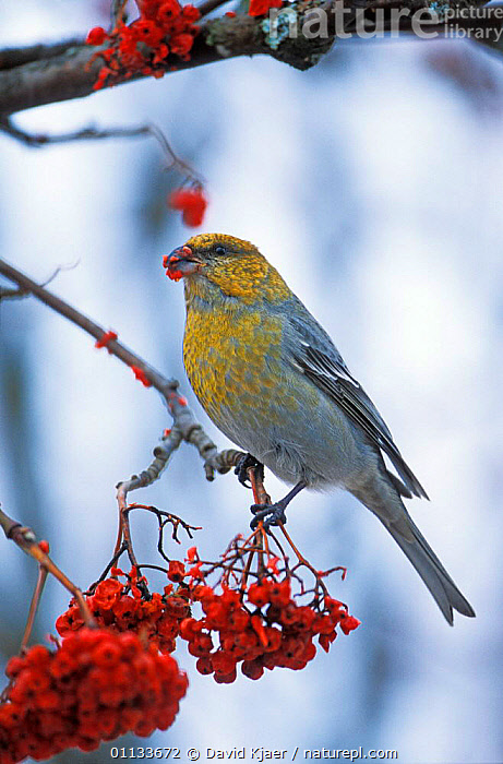Pine grosbeak {Pinicola enucleator} feeding on Rowan berries. UK.  ,  PERCHING,EUROPE,WINTER,FINCHES,BIRDS,BERRIES,UK,PASSERINES,United Kingdom,British  ,  David Kjaer