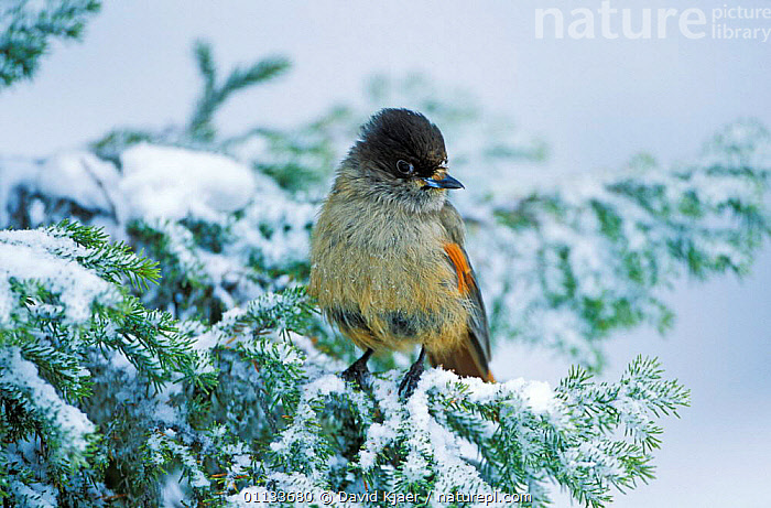 Siberian jay {Perisoreus infaustus} on snow-covered conifer tree, Finland.  ,  PORTRAITS,BIRDS,FINLAND,PASSERINES,WINTER,EUROPE,SNOW,JAYS,Scandinavia,Corvids  ,  David Kjaer