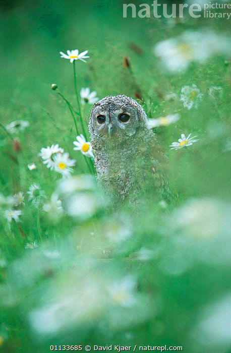 Tawny owl {Strix aluco} juvenile on ground in grass meadow, captive, UK.  ,  OWLS,PORTRAITS,FLOWERS,EUROPE,BIRDS OF PREY,BIRDS,UK,United Kingdom,British,Raptor  ,  David Kjaer