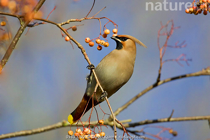 Bohemian waxwing {Bombycilla garralus} in Rowan tree, autumn, UK.  ,  UK,PASSERINES,EUROPE,BIRDS,GARRALUS,WAXWINGS,WINTER,United Kingdom,British  ,  David Kjaer